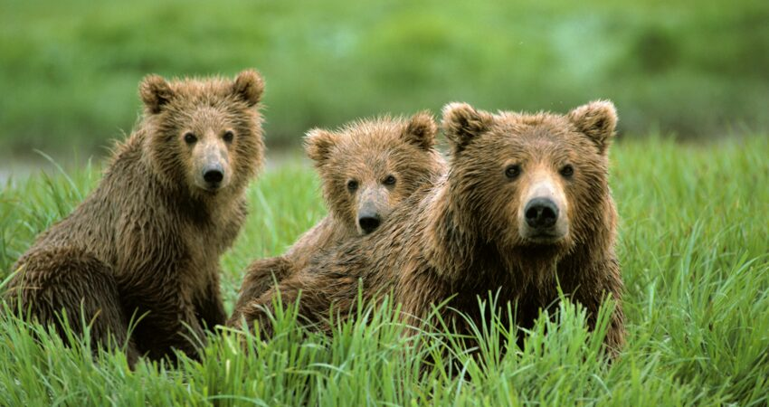 Mother brown bear and her cubs near McNeil River.