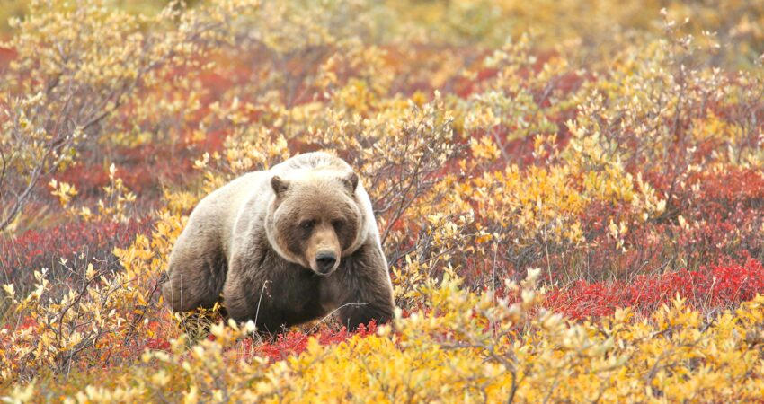 Lone grizzly bear traveling through brush in Denali National Park.