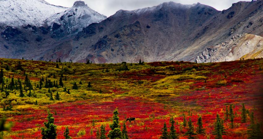 Moose among fall colors in Denali National Park.