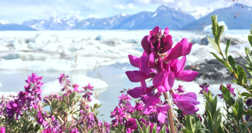Fireweed with Knik Glacier in the background.