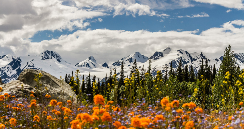 Flower and mountain views in Thompson Pass near Valdez.