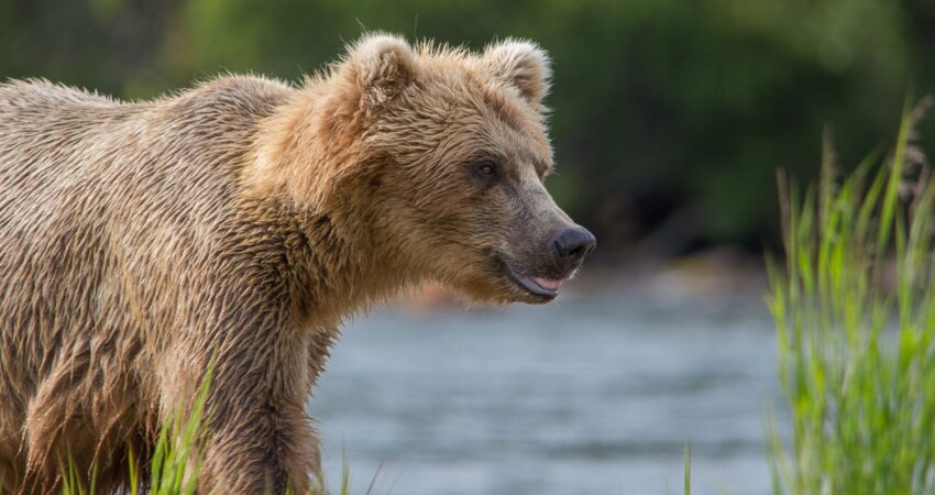 Grizzly bear surveying the surrounding area of Brooks Falls in Katmai National Park.