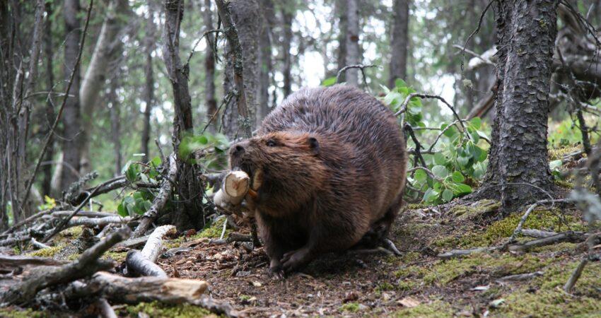 Beaver actively working on Horseshoe Lake Trail in Denali National Park.