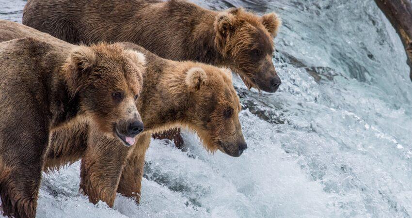 Three bears anxiously await leaping salmon in Katmai National Park.