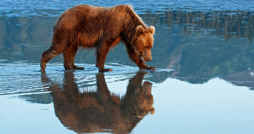 Brown bear reflection during low tide in Lake Clark National Park.