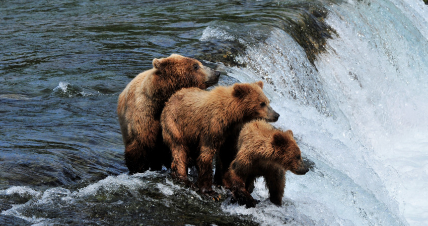 Mother bear teaches her cubs to fish in Katmai National Park Alaska.