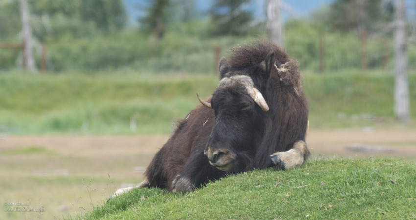 Musk ox are known for their underfur known as qiviut.