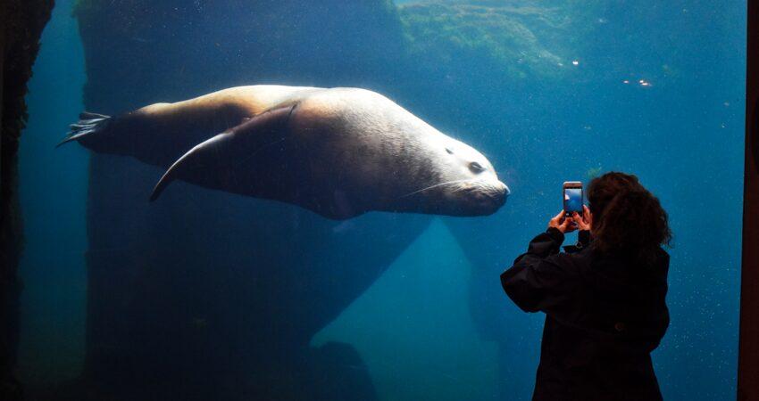Sea lion glides through its habitat in Seward.