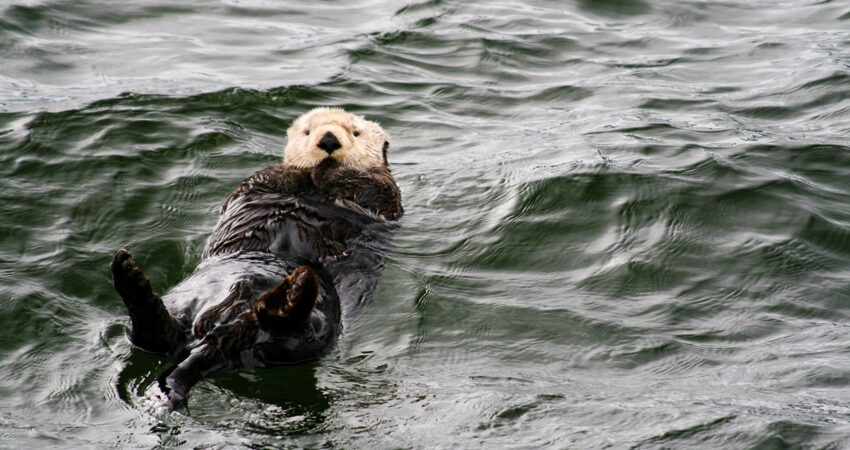 A sea otter demonstrates the perfect back float.