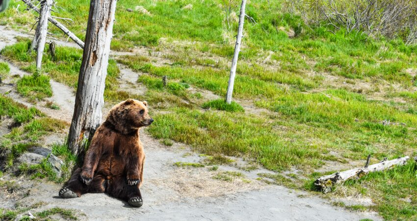 Brown bear taking in the sites.