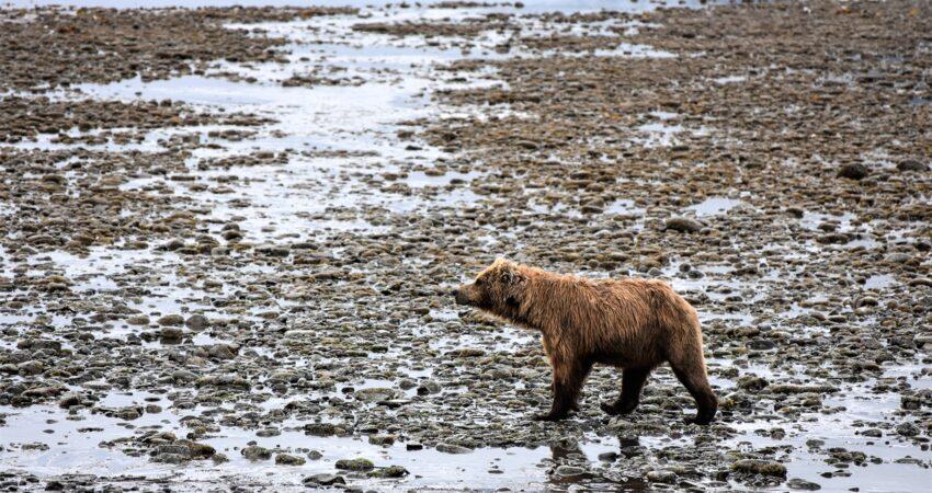 Brown bear strolls low tide at Chinitna Bay.