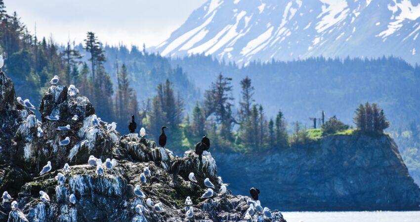 Seabirds congretate on Gull Rock in Kachemak Bay outside Homer.