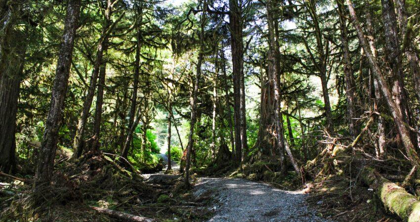 Walking among Sitka spruce in Seward.